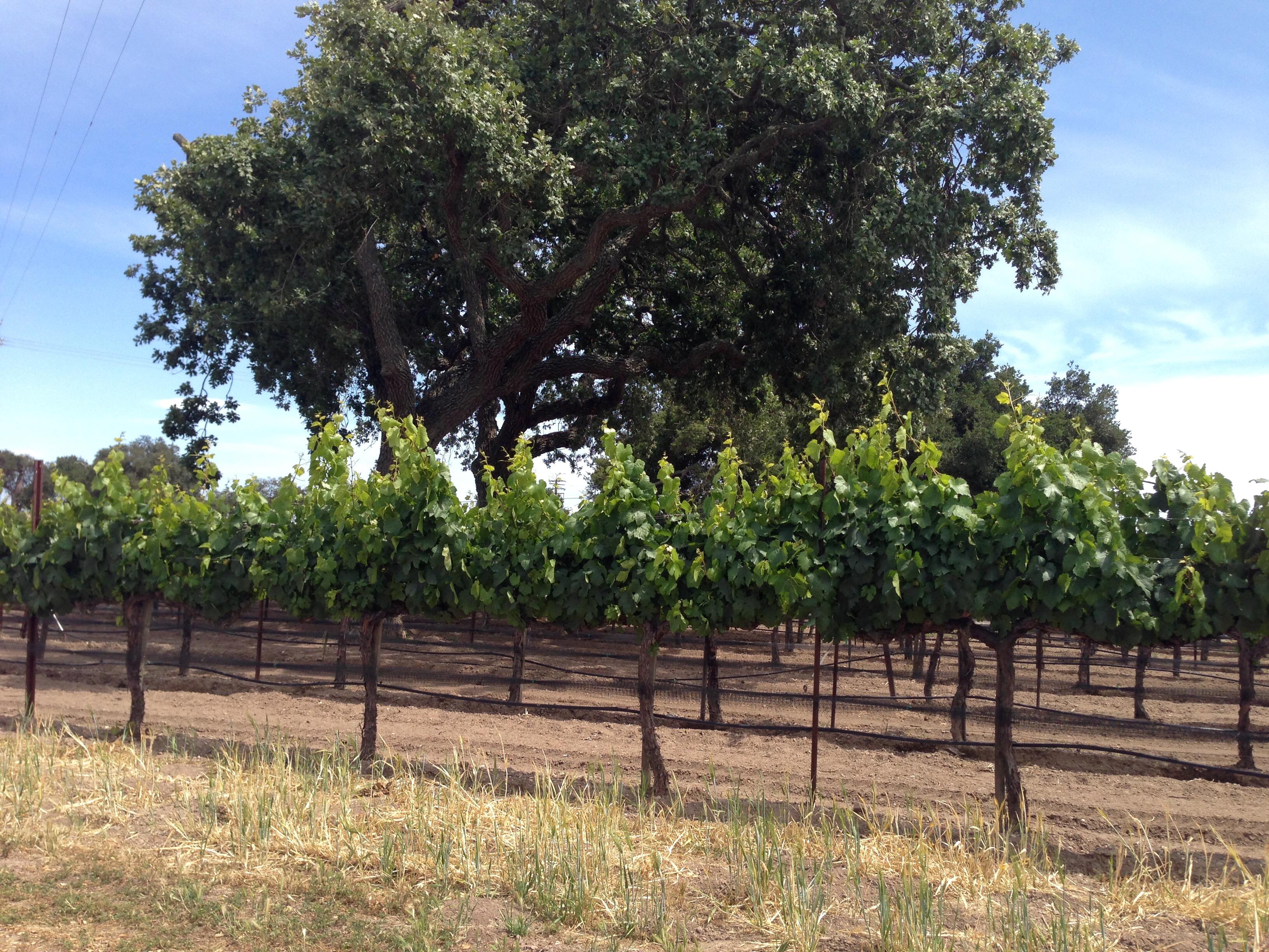 SB vines